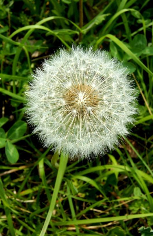 Fleur de pissenlit - Logo Larousse pour les plus anciens ... Pou-Pou pour les enfants